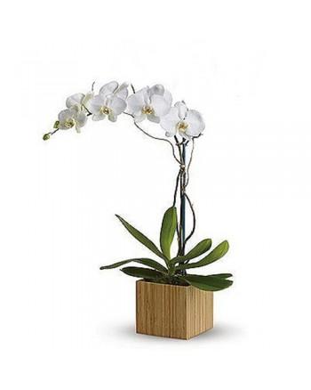 06-orquidea phalaenopsis BRANCA