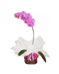 05-Orquidea phalaenopsis LILAS